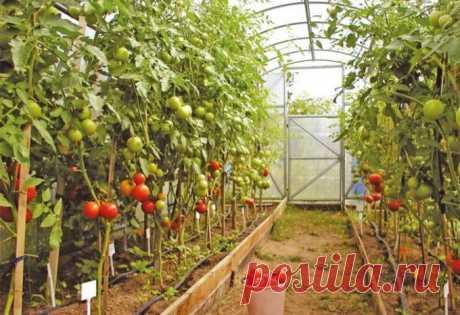 Как выращивать помидоры в теплице из поликарбоната: ликбез для новичков :: Сад и огород :: Сад и огород