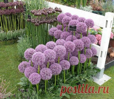 Декоративный лук: необычное украшение огорода