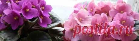 Какие подкормки стимулируют обильное цветение фиалок
