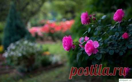 Отличный раствор для защиты роз от вредителей — Садоводка