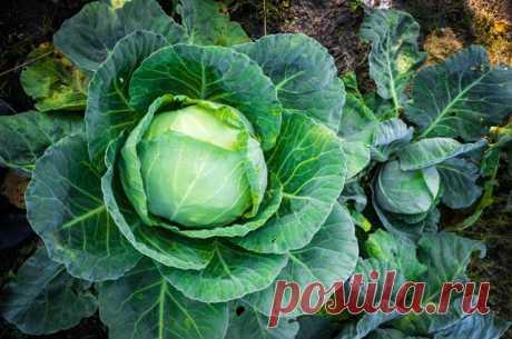 Для большого урожая капусты — Огород без хлопот