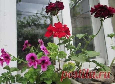 Пеларгония из семян – советы специалистов