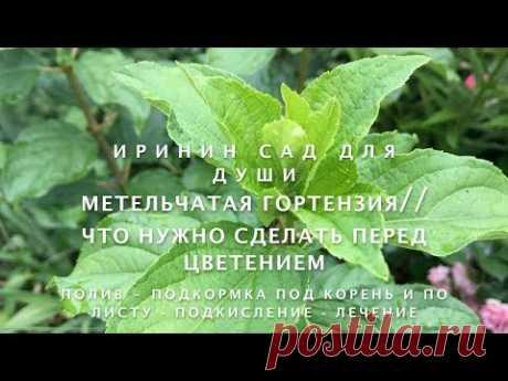 Метельчатая гортензия//Что нужно сделать перед цветением