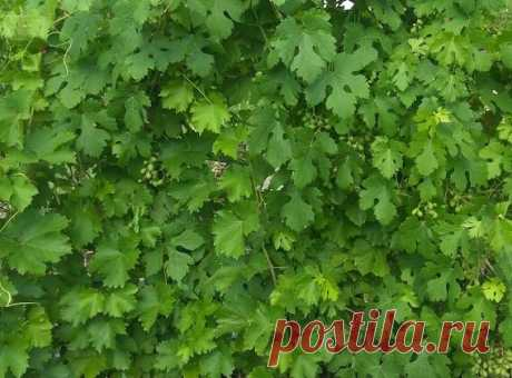 Загущенная голова куста – частая ошибка начинающего виноградаря | Самарский виноград | Яндекс Дзен