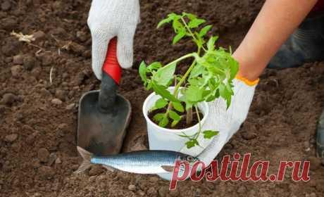 Зачем закапывать рыбу в лунки под помидоры? | Блоги о даче и огороде, рецептах, красоте и правильном питании, рыбалке, ремонте и интерьере