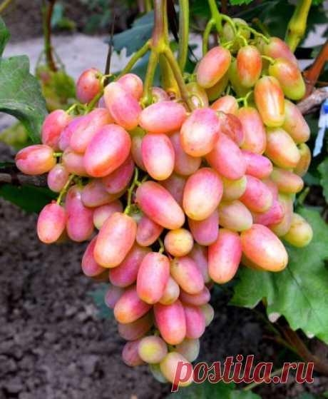 Виноград Юлиан: описание сорта, фото, отзывы Виноград Юлиан: описание сорта, фото, отзывы виноградарей. Советы по размножению, выращиванию и уходу.