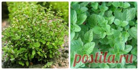Майоран садовый или колбасная трава: выращивание, применение в медицине и кулинарии