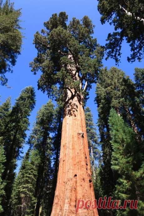 Невероятно старые деревья | Наука и жизнь