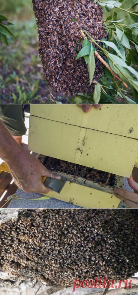 Как предотвратить роение пчел? - БиоКорова