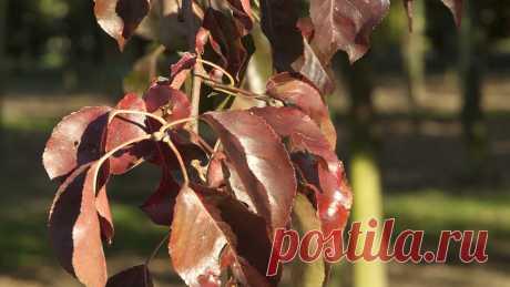 Чем болеет груша, если у нее коричневые листья, чем лечить Изменение естественной окраски листьев груши свидетельствует о наличии проблемы. Причиной может быть парша, черный рак, плодовая гниль и так далее. В каждом случае, речь идет о наборе специфических признаков, опираясь на которые, садовод может поставить диагноз. Действовать нужно оперативно, но не стоит забывать о необходимости проверки ранее сделанных выводов. Клинические проявления заболевания Черный рак – несмот...