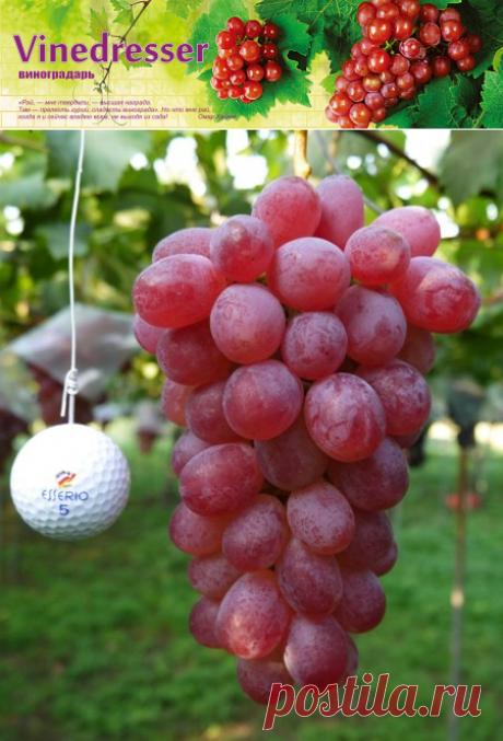 Сорт винограда Rosalio Rosso (Rosario Rosso) - описание и фото