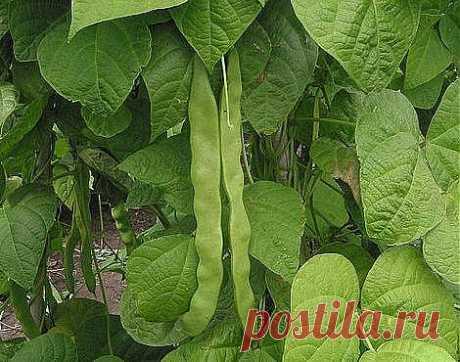 Как посадить фасоль для получения хорошего урожая.