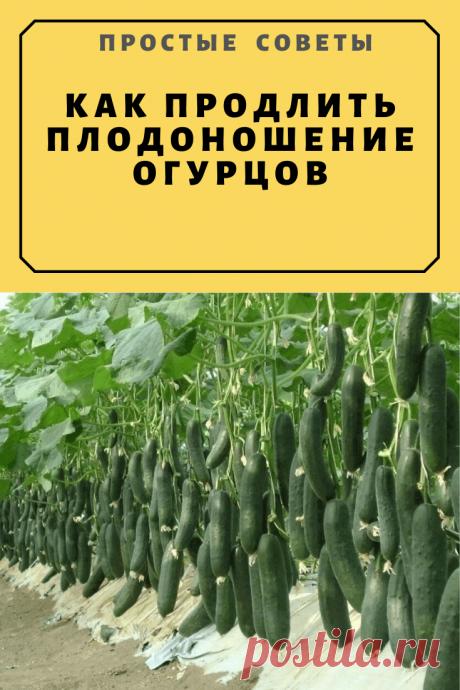 Как продлить плодоношение огурцов — Простые советы