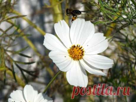 Космея: выращивание из семян и уход за растением. Яркие и чарующие бутоны этого растения украсят собой любой сад и могут многие годы радовать своей красотой, не требуя при этом особого ухода. Космея - выращивание и уход за прекрасными цветами далее в этой статье.
