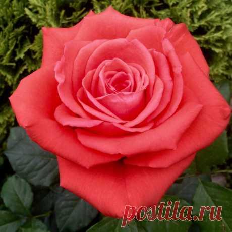 """""""Тепло ли тебе, розочка? Тепло ли тебе, красная?"""" Про укрывной материал для роз"""