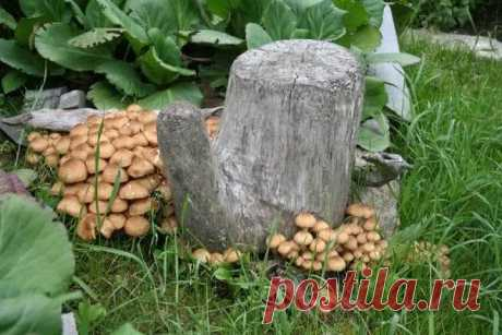 How to grow up honey agarics at the dacha on stubs or logs from a mycelium the hands? How to grow up honey agarics at the dacha on stubs or logs from a mycelium the hands? Often we on sites have stubs after cutting of some trees.