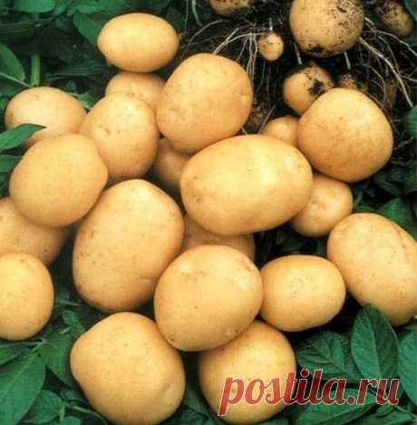 9 советов по выращиванию картофеля   1. Чем меньше клубень картофеля, тем крупнее он дает клубни, и наоборот. Поэтому лучше всего сажать клубни средней величины, либо разрезать большие клубни так чтобы на каждой части было несколько глазков.   2. Глубоко посаженные клубни дадут мелочь и изобилие ботвы.  Показать полностью…