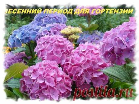 Гортензия метельчатая- обрезка и подготовка к весеннему сезону | АЗБУКА ЦВЕТОВ | Яндекс Дзен
