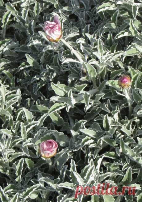Низкорослые цветы - как выбрать и украсить клумбу низкорослыми цветами (100 фото идей)