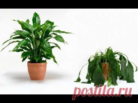 Почему ВЯНУТ комнатные растения | Что делать | ОШИБКИ в уходе за ДОМАШНИМИ ЦВЕТАМИ и их исправление