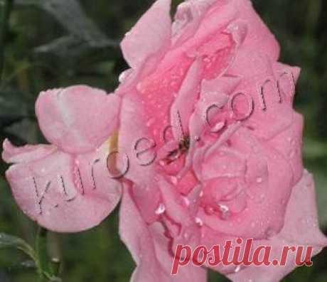 РЕЦЕПТЫ | Варенье из розовых лепестков