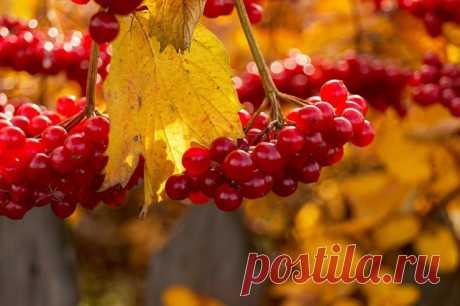 Октябрь калину целовал,  Она в ответ от счастья рдела.  И листьев, огненный накал,  Не торопилась сбросить с тела.    Любви, напиток не простой,  Бродил, вскипая, в красных гроздьях,  Смешав и явь. и сон с мечтой...  И разливался в чувствах поздних.    Октябрь калину миловал...  И от его прикосновенья,  В ней каждый листик трепетал,  Всё больше рдея от смущенья.    Устав от натисков его,  Сдалась к утру, в любви сгорая.  И в свете зорьки огневой,  Стояла. искренне нагая......