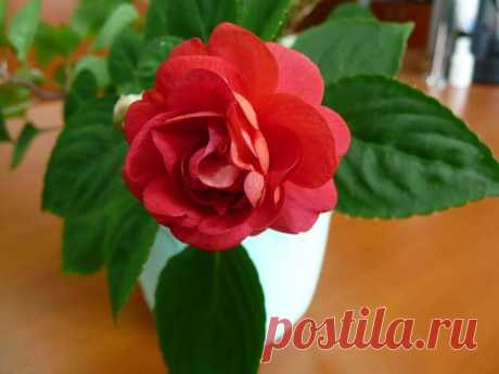 Все комнатные растения с красными цветам