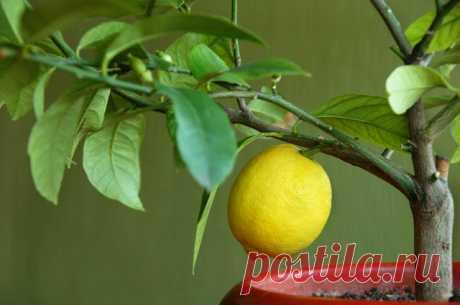 Можно ли вырастить комнатный лимон из семечка?   Огород   Дача   Аргументы и Факты
