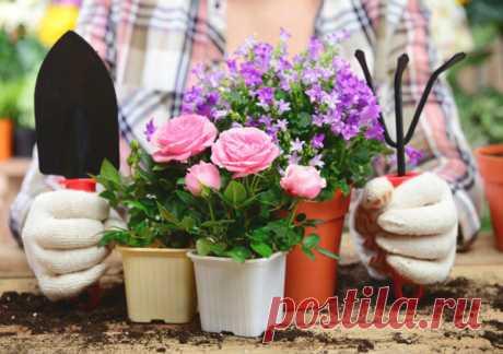 Как ухаживать за комнатной розой в домашних условиях, виды, фото