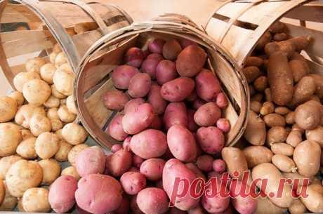 Как понять, когда собирать урожай картофеля? АиФ.ru отвечает на популярные вопросы читателей.