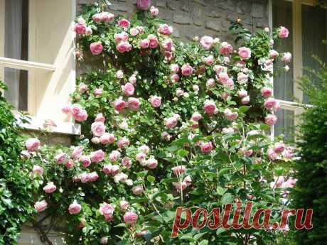 Два способа размножения плетистых роз | Крестьянская жизнь | Яндекс Дзен