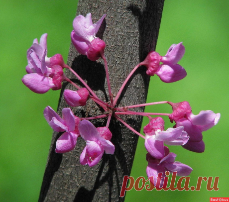Иудино дерево: Красивое растение, которое ненавидели за библейскую отсылку | Книга растений | Яндекс Дзен