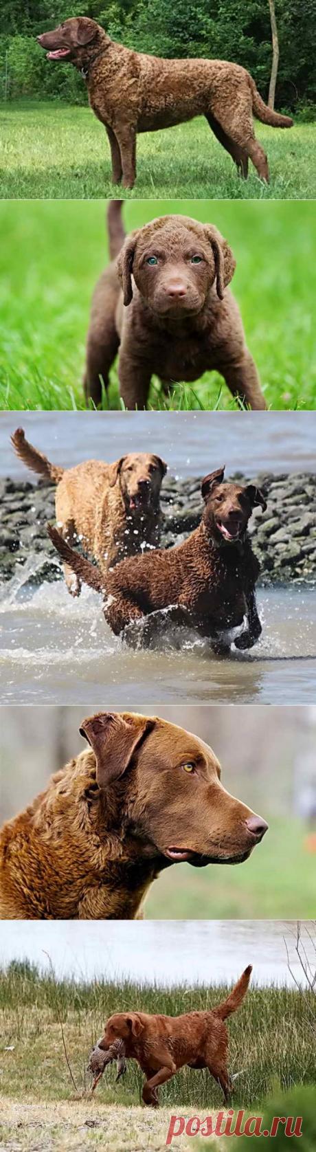 Чесапик бей ретривер: фото редкой породы собак, особенности характера и поведения