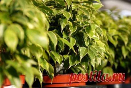 Лучшая подкормка для фикуса. 3 натуральных удобрения | Цветы в квартире и на даче – от Радзевской Виктории | Яндекс Дзен