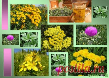 Список самых лучших и полезных трав для лечения печени | 6 соток