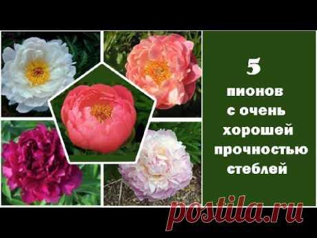 ❀ 5 пионов с очень хорошей прочностью стеблей