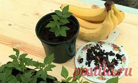 Как правильно использовать банановую кожуру как удобрение для огорода