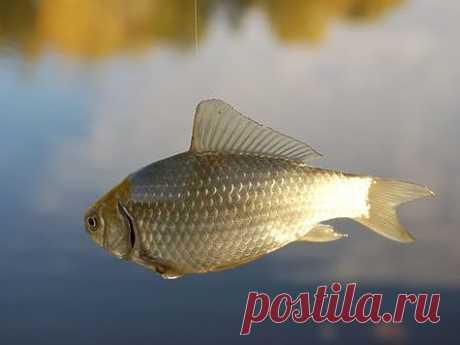 Праздничные рыбы Май в Средней полосе России – один из самых благодатных для рыболовов месяцев. Уже достаточно тепло и комфортно ловить даже с ночевкой на берегу водоема. Распустившаяся природа создает комфортный, приятный и полезный климат около воды. И пока еще мало комаров. Одно удовольствие!