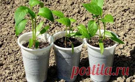 DISEMBARKATION OF SEEDLING IN SOIL - ABOUT WHAT HAS TO KNOW EVERYONE.