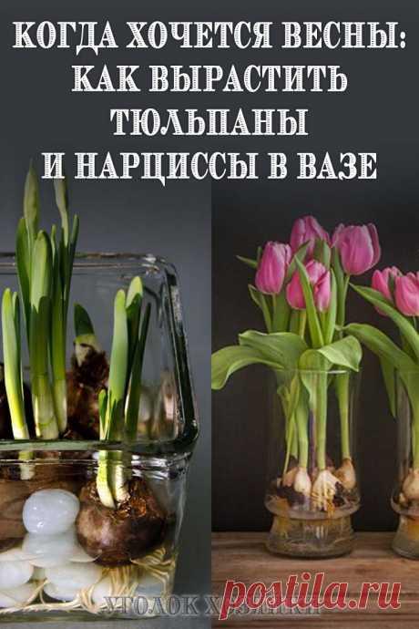 Зимой, когда так скучаешь за весенними запахами и красками, можно вырастить тюльпаны и нарциссы в вазе, в воде без почвы.