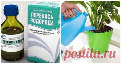 Перекись водорода для оздоровления домашних растений
