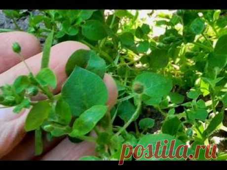 La COCHINILLA (Zvezdchatka) Que cura la hierba la COCHINILLA.