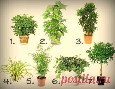 7 лучших растений для очистки воздуха внутри помещения   1. Шеффлера (Schéfflera или Зонтичное дерево) — буквально создана для помещений, в которых курят. Она прекрасно «усваивает» и нейтрализует никотин и смолы, содержащиеся в табачном дыме.2. Сциндапсу…