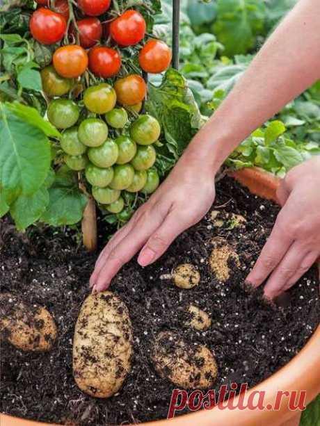 Potato and tomato bush | OPTIMIST