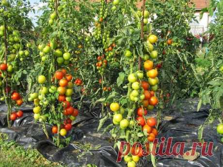 """Этот tomato a way of cultivation of tomatoes I happened to see a lazy way of cultivation last year on one of neighbour's sites.\u000d\u000a\u000d\u000aWhat was seen just struck: On a kitchen garden, about 1,2 meters from each other stood on distance, …"