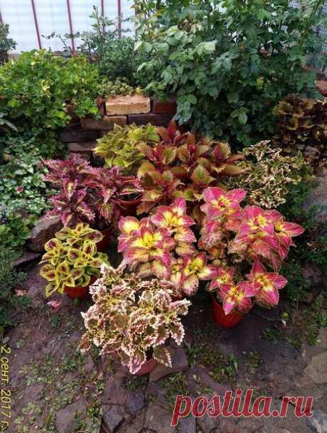 Цветы для сада. Колеусы вегетативные. Часть 2   Блоги о даче, рецептах, рыбалке