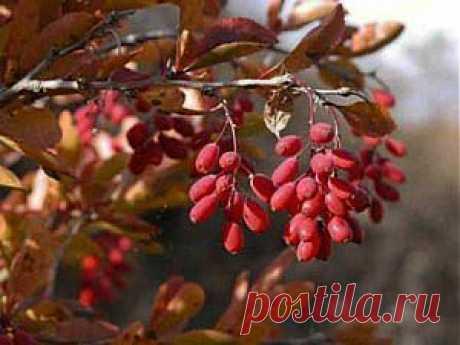 Выращивание и размножение барбариса | Дача - впрок