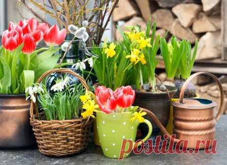 Цветы зимой - правила выгонки луковичных и мелколуковичных растений. Особенности выгонки тюльпанов и гиацинтов