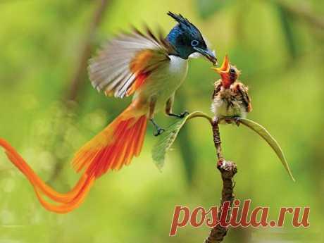 Райская птица Австралии