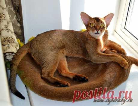 Абиссинская кошка дикого окраса  Super-Aby Jumba